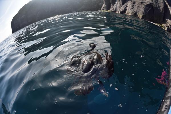 この頃、海上にはよくウミウの亡骸を見かけた。 クマに襲われ、力尽き落下したものだったのだろう。