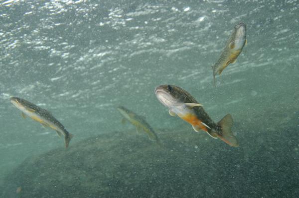 イワナは大きな落差や、浅く細い沢も蛇のように這い上がり源流点を目指すことができる。 魚の多かりし頃は、雨や水位の変化があるとそれぞれの水域を移動し、沢や本流などを経て交流や補充がなされ、「イワナが湧いて」いたのだろう。