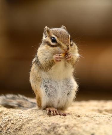 餌で頬を膨らました表情はシマリスならではです。ちなみに野生では日本には生息せず、北海道にエゾシマリスがいる。