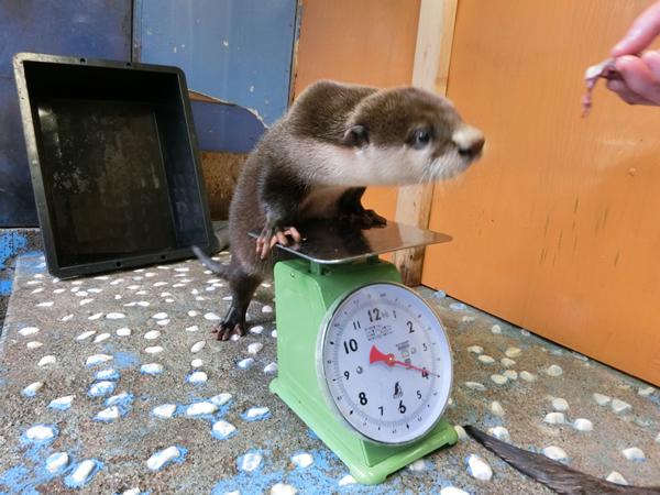 体重計に乗る男の子