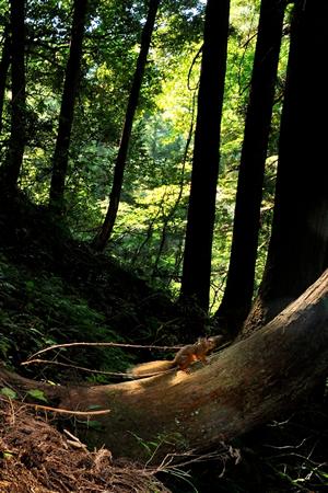 本州の里山のホンドリス。 野生のリスは一瞬の出会いであることが多いが、それはそれでいのちの営みを実感できるつかの間の出会いです。