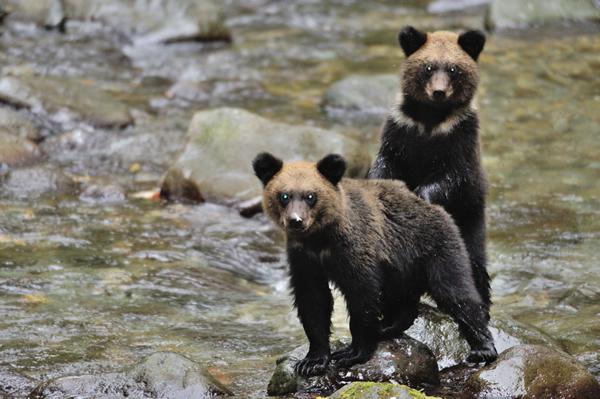 立場の弱い母子のクマは、普通川には近づかない。    サケ・マスが少なく他の大きな雄グマがあまりいないので危険を冒して来ているらしい。    魚はいないし、長居をすると他のクマに出会ってしまうのでさっさと通り過ぎていく。    食事をしたり、ルートを覚えたり、一緒に冬ごもりをしたり、小グマにとっては、母親との全てが遊びで勉強だ。