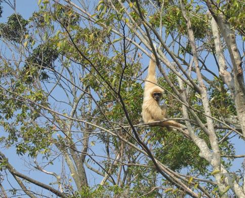 どうぶつのくにで取り上げていただいたシロテテナガザルは国内No.1の飼育頭数!
