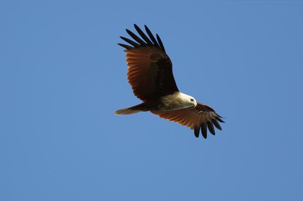 シロガシラトビ。栗色の翼が映える。