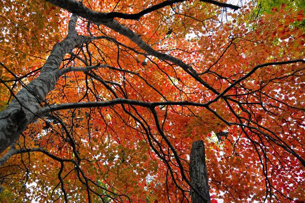 真っ赤に染まる樹葉、これでも紅葉のピークは過ぎている。
