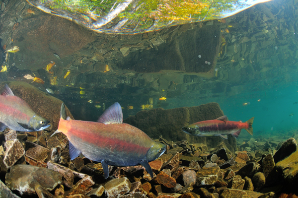 産卵期、ヒメマスも赤く色付く。