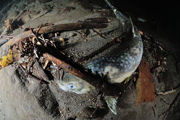 砂中に埋まる息絶えたアメマスを見つけた。 産卵期はヒメマスよりも若干早い。   彼の立派な体格と青く美しい色彩は無事に受け継がれただろうか?。