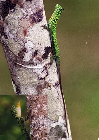 ツノトビトカゲ。オスの咽喉垂(写真左下)。