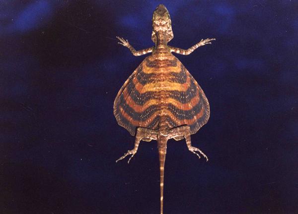 イツスジトビトカゲ。首の両側の広がりが副翼。