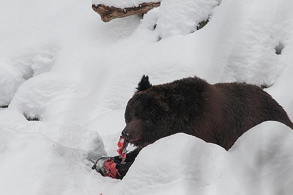 捕まえたサケを食べるクマ。 川への遡上が遅れたのか、うまそうなサケだった。