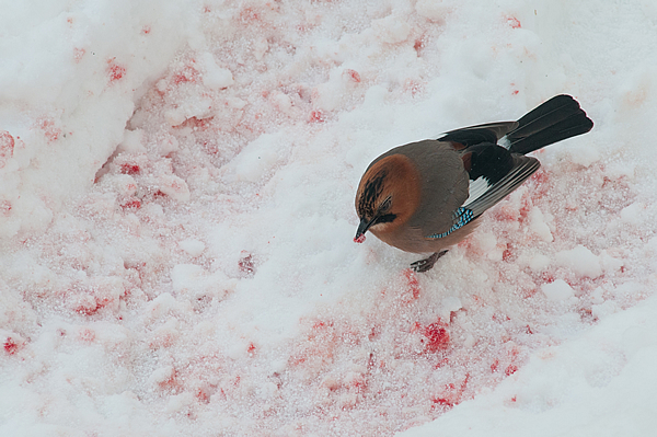 クマが去った後、雪面に凍った血液をついばむカケス。 貴重な塩分と栄養だ。