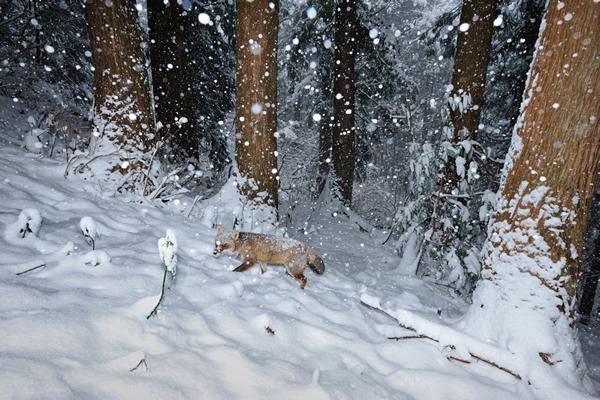 降りしきる雪の中を徘徊するホンドキツネ。