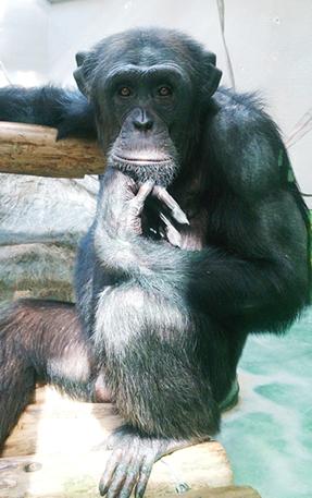 チンパンジー・ヤマト♂