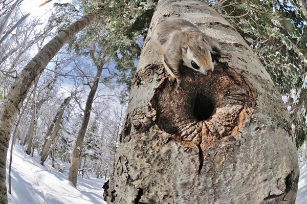 この巣穴には7匹ほどが集団生活をしている。 穴のすぐ脇に、実は僕がバレバレの偽装でじっとしているのだが、何度か数匹が直上から頭へ飛び乗り、身体中を歩き回った事がある。 偽装網と帽子を越えて頭皮を刺してくる彼らの爪が痛く、なるほどこれなら樹上を容易に移動できる、と納得したものだ。