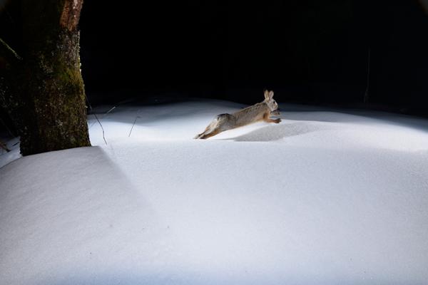 里山では必ずといっていいほど確認できるのがウサギ足跡やその姿。 キツネ減少により相当数を増やしているのかもしれない。