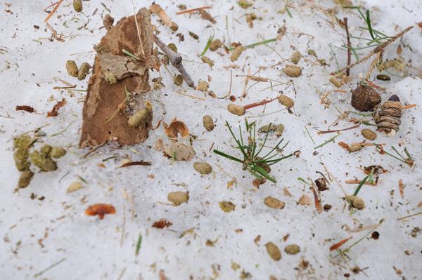 麦状のものがモモンガのふん。 穴や裂け目の周囲にこれがあれば生息が確定だ。