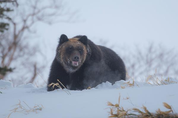 冬眠明けの、機嫌の良さそうなクマが白い息を吐いて来た。