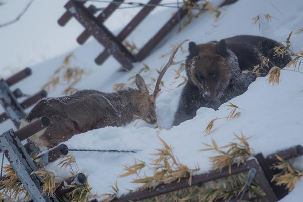 クマの予想を裏切り、対等以上に渡り合うエゾシカ。 体は痩せ消耗もしているが、渾身の突きが、もし相手の目や喉に刺されば命を奪うに充分だろう。