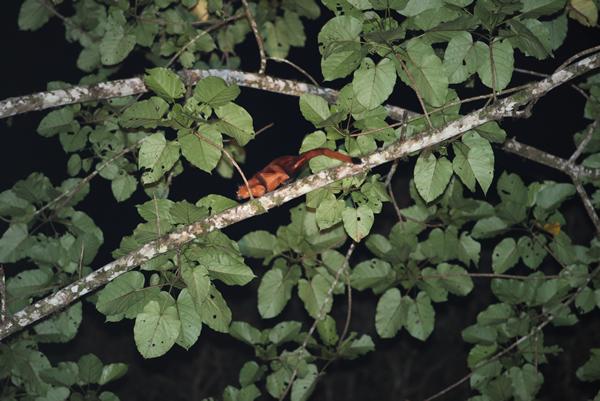 熟した果実を探して枝から枝を移動。