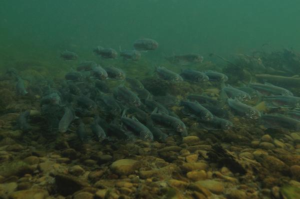 昨晩秋のシシャモ遡上群、資源量が落ち込んでいる。