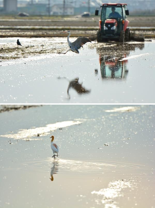 警戒心が強くて人の気配に敏感なサギの仲間であるが、耕運機のそばでは話は別のようで、耕すことで土壌の中の餌が掘り返されるという恩恵にあやかっている。