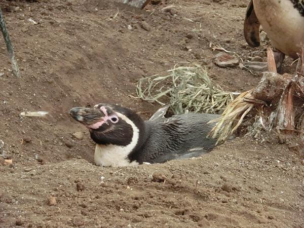 自分で掘った穴で卵を温める親