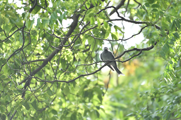 正面顔、嘴周りの黒色が特徴!尾羽は燕尾!