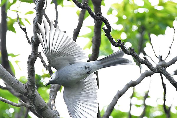 飛び出し!風切り羽の透明な白が印象的だった。