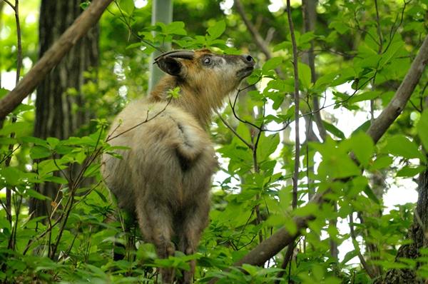 カモシカもいたし一瞬だったがニホンザルは 沢沿いの樹上を走り去っていくところも見た。