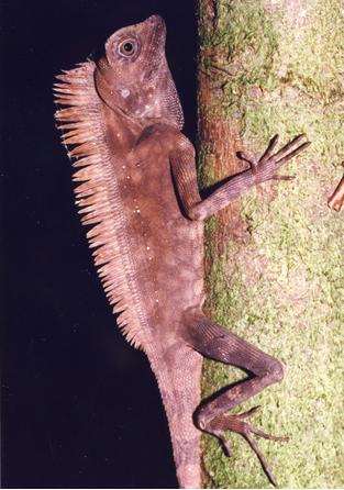 ボルネオモリドラゴン。丘陵地帯の深い森に棲む。