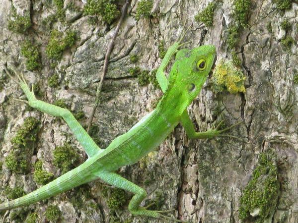 コグシカロテス。明るい二次林や公園などに棲む。