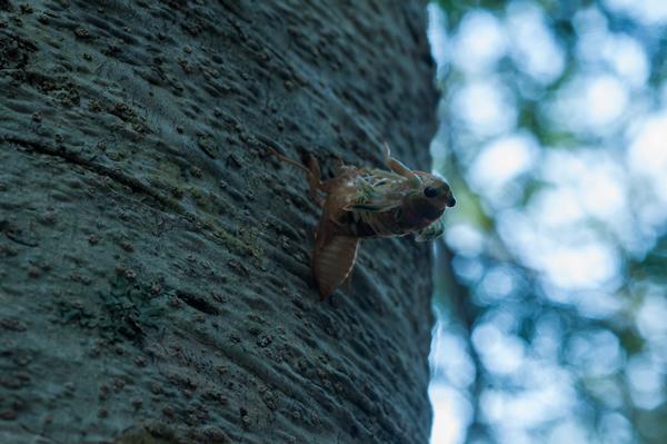 エゾハルゼミは2センチ程度の小さなセミだ。  長い地中生活を終え、羽化がはじまった。