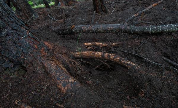 掘り返された周囲の木の根。
