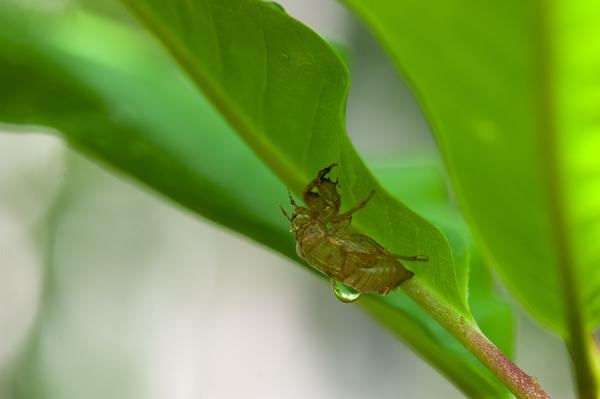 エゾハルゼミの季節は出現から一週間ぐらいで終わり、知床は初夏を迎える。