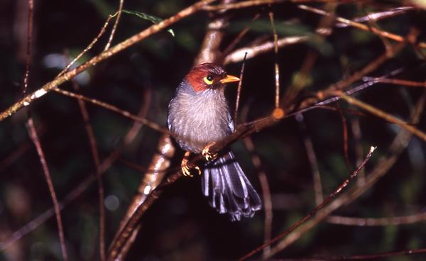 チャガシラガビチョウ。赤茶色の頭が特徴。