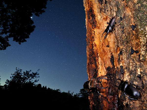 満点の星空の中、樹液の集まるクワガタたち。