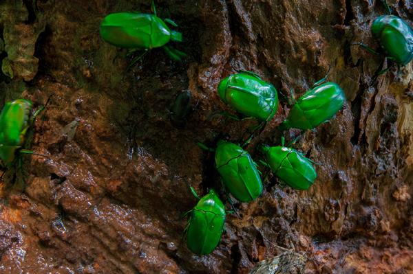 染み出した樹液に集う。 周囲には甘酸っぱい匂いが立ち込めている。