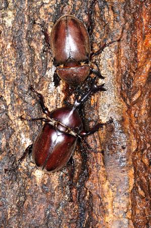 夏の昆虫といえばカブトムシ。 仲よく樹液を吸う、オスとメス。