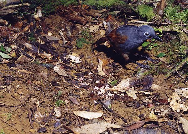 チャバネガビチョウ。頭は腹面と同色で濃い灰色。