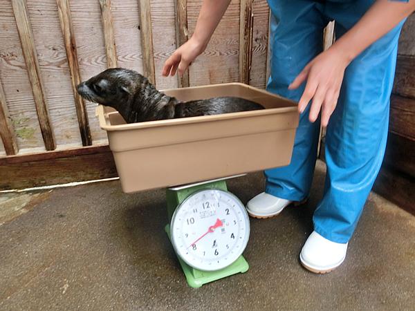 桶に入れての体重測定