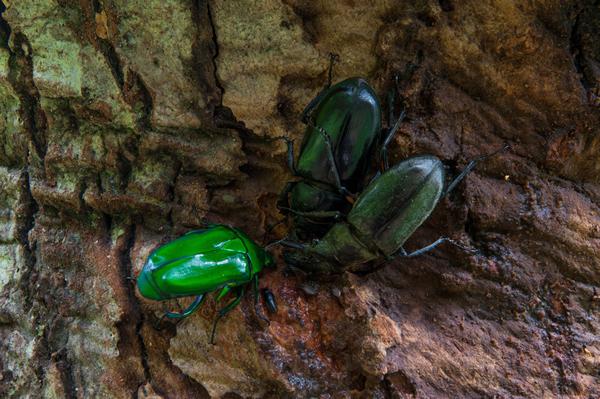周囲の樹葉とカナブンの色彩が反射し、ミヤマクワガタの短い体毛まで緑に染めている。  カナブンもクワガタも「森の生き物」という事がよくわかる。