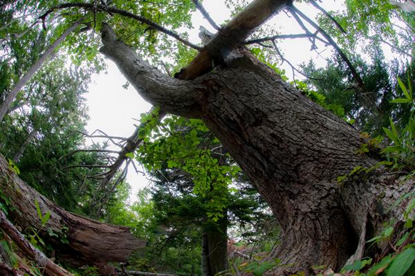 虫を集め、育てるミズナラの老木。  葉が広がり、まだ生きてはいるがいつかは倒れ、豊かな土になるのだろう。