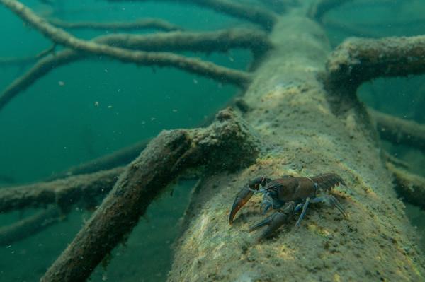 水中に封印された古木にニホンザリガニ。