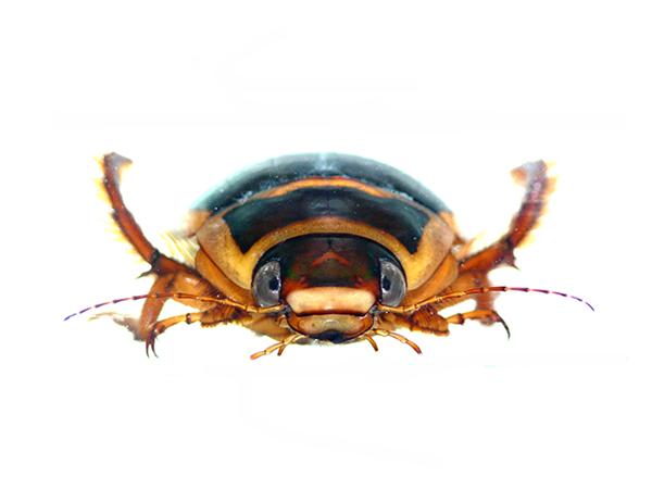 エゾゲンゴロウモドキ(雄前頭部のV字模様がゲンゴロウモドキ属の特徴)