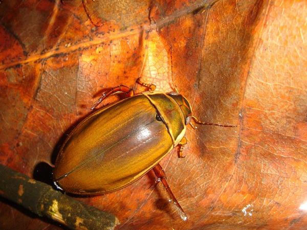 エゾゲンゴロウモドキ雌(無溝)