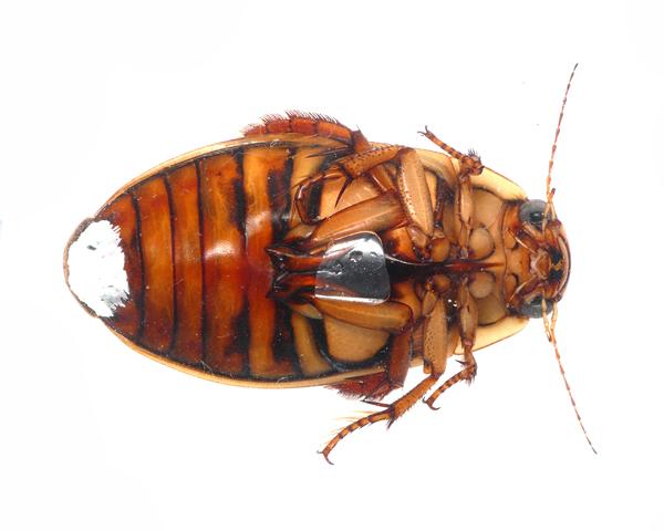 腹部末端に交尾嚢のようなものを付けたエゾゲンゴロウモドキの雌。この機能はわかっていない。