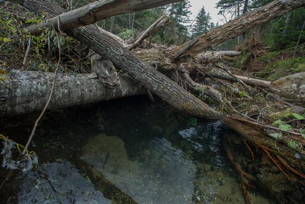 そこかしこに倒木が倒れ、流れに変化を与えている。