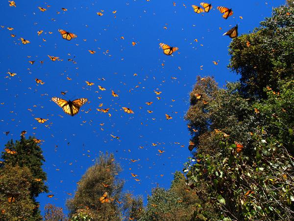 越冬地では昼間気温が上がるとたくさんのオオカバマダラが飛ぶ