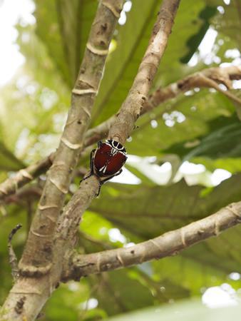 食樹の花の咲く細い枝にとまり樹液をなめる カメルーン