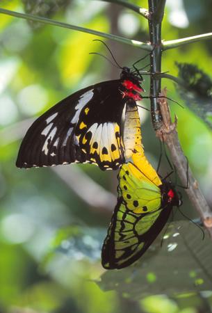 ミドリメガネトリバネアゲハの交尾 インドネシアアンボン 上がメス